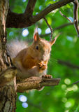 Large red squirrel sitting on a branch of pine in the forest sun Stock Photo