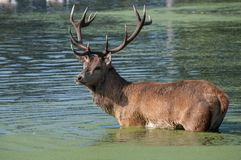 Large red stag deer wading in water. Large red stag deer wading in algae covered water royalty free stock images