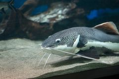 Large red tail catfish from Amazon, in aquarium tank royalty free stock photo