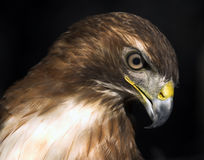 Large Red Tail Hawk Royalty Free Stock Photography
