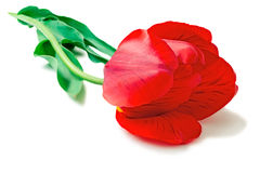 Large red tulip on a white background. Royalty Free Stock Image