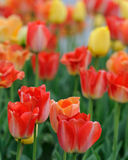 Large red tulips Royalty Free Stock Image