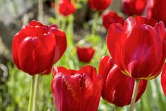 Large red tulips close-up on a background of green grass. Large group of blooming red tulips close-up royalty free stock image