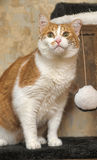 A large red and white cat Stock Images