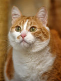 A large red and white cat Royalty Free Stock Image