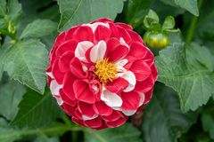 Large red and white Dahlia flower. Bloom royalty free stock photos