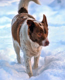 Large red and white purebred dog Stock Photography