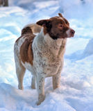 Large red and white purebred dog Stock Image