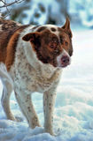 Large red and white purebred dog Royalty Free Stock Photography