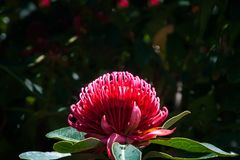 Large Red Wild Waratah on a bulrred background. Waratah is a native Australian genus of large shrubs or small trees with large flowers of bright red color. Here Stock Photography