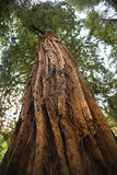 Large Redwood Tree Muir Woods Stock Images