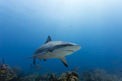 Large Reef shark Carcharhinus amblyrhynchos swimming above coral reef Royalty Free Stock Photo