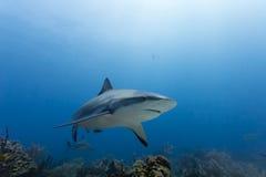 Large Reef shark Carcharhinus amblyrhynchos swimming above coral reef. A large reef shark, Carcharhinus amblyrhynchos, swimming above coral reef in caribbean royalty free stock photo