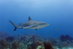 Large reef shark, Carcharhinus amblyrhynchos, swimming above coral reef. Close-up of a large reef shark, Carcharhinus amblyrhynchos, swimming above coral reef royalty free stock photos