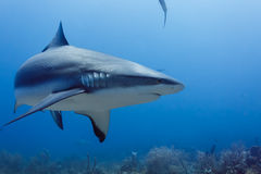 Large Reef shark Carcharhinus amblyrhynchos swimming above coral reef. Closeup of large reef shark, Carcharhinus amblyrhynchos, swimming above coral reef stock photo