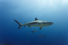 3 large Reef sharks Carcharhinus amblyrhynchos swimming above coral reef Stock Image
