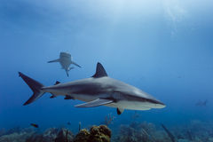 Large Reef sharks Carcharhinus amblyrhynchos swimming above coral reef Stock Image