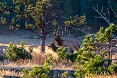 Large Regal Bull Elk Standing Beside His Herd of Cows royalty free stock photos
