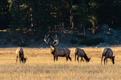 Large Regal Bull Elk Standing Beside His Herd of Cows royalty free stock photo