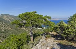 A large relict pine on top of the mountain. Sunny summer day. Novyy Svet, Crimea Royalty Free Stock Photos