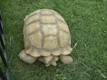 Large reptile in natural conditions. A brown desert turtle. Is slowly crawling on the green grass royalty free stock photography