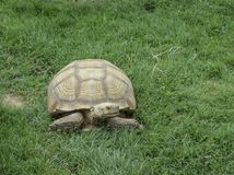 Large reptile in natural conditions. A brown desert turtle. Is slowly crawling on the green grass stock photos