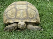 Large reptile in natural conditions. A brown desert turtle. Is slowly crawling on the green grass royalty free stock photo
