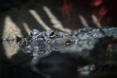 Portrait of a crocodile in the water. Large reptile predator.  Crocodile immersed in water Stock Photography