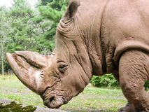 Large Rhino Royalty Free Stock Photo