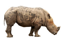 The large rhino Stock Photography