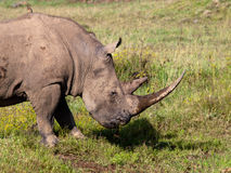 Large rhino with a bird. On his back Stock Images