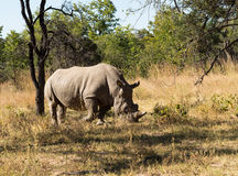 Large rhino grazing the grass in Zimbabwe royalty free stock images