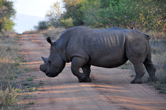 Large Rhino  scent-marking his territory. By urination Royalty Free Stock Image