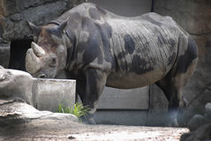 A large rhino taking a drink of water on a hot summer day. Royalty Free Stock Photos