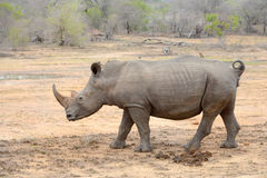 Large Rhinoceros in Kruger National Park Royalty Free Stock Photo