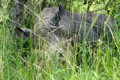 Large Rhinoceros Laying in the Grass. A large rhinoceros rests in long green grass in Ziwa Rhino Sanctuary, Uganda stock photo
