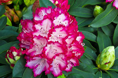 Large rhododendron flowers. Stock Image