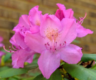 Large Rhododendron Royalty Free Stock Photos