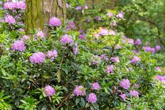 A large rhododendron sits nestled at the base of a large tree tr royalty free stock photography