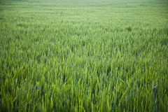 Large rice paddy. With nobody Royalty Free Stock Photo