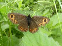 Large ringlet butterfly orange brown in the green grass royalty free stock image