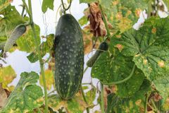 A large ripe green cucumber growing in the greenhouse among the foliage Royalty Free Stock Images