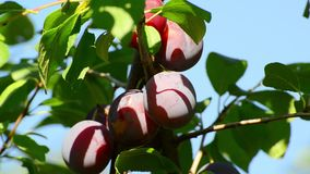 Large ripe plums on branch stock video footage