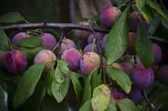 Large ripe plums on the branches Royalty Free Stock Photos