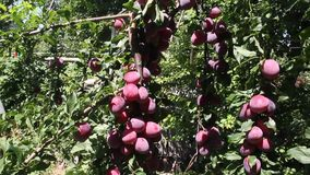 Large ripe plums. On the branches on sunny day stock video