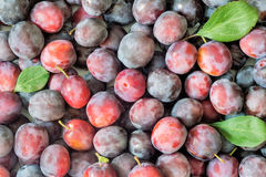 Large ripe plums in large quantities. Stock Images