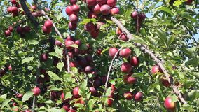 Large ripe plums. On the branches on sunny day stock video footage