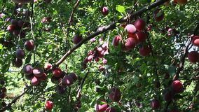 Large ripe plums. On the branches on sunny day stock footage