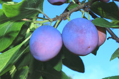 Large ripe plums on a tree branch against the blue sky. Stock Images