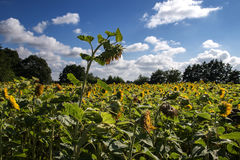 Large ripe sunflower in a sunflower field against the blue sky w Royalty Free Stock Images